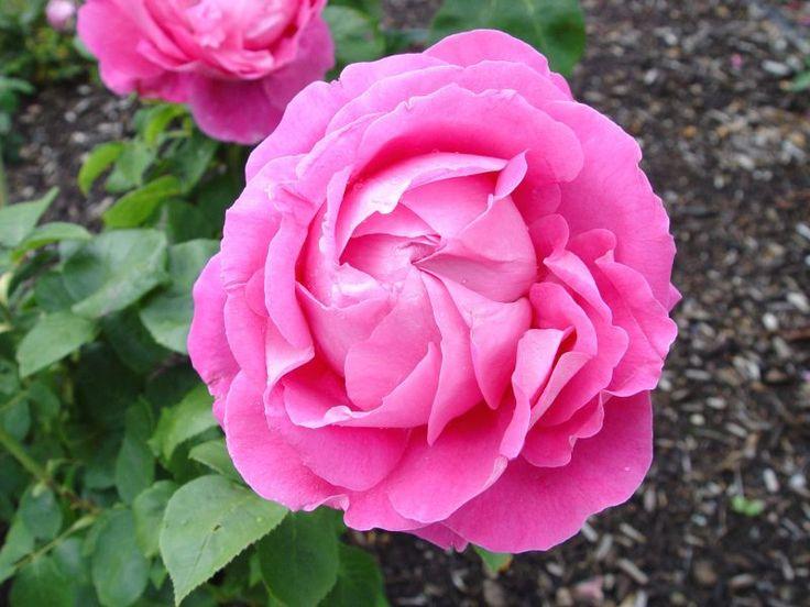 Rose Paul Neyron
