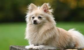 Resultado de imagen para ver fotos de perros raza pomerania