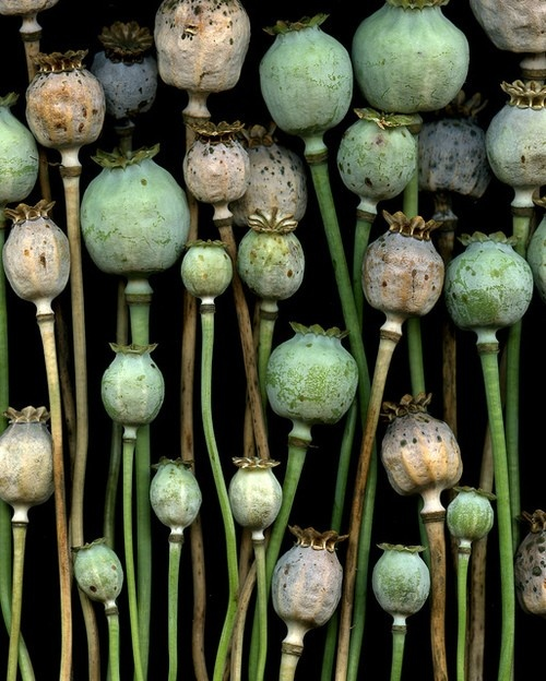 opium pod - available at the growers now and very cute, textural, different. Not…