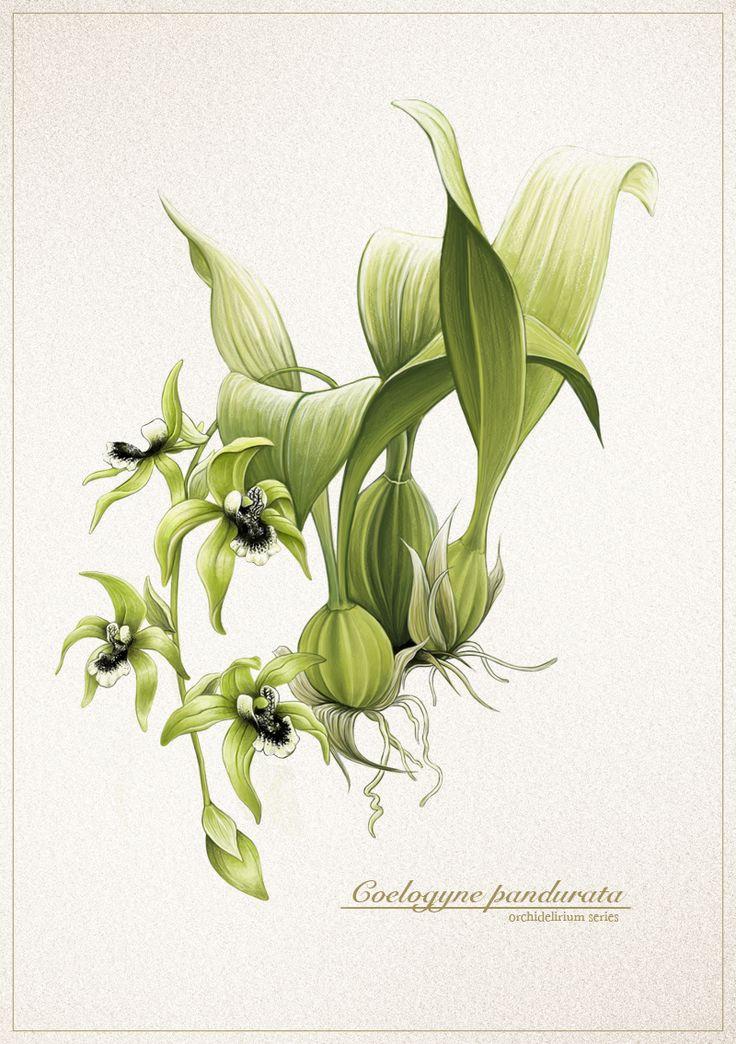 Coelogyne pandurata / Anggrek Hitam
