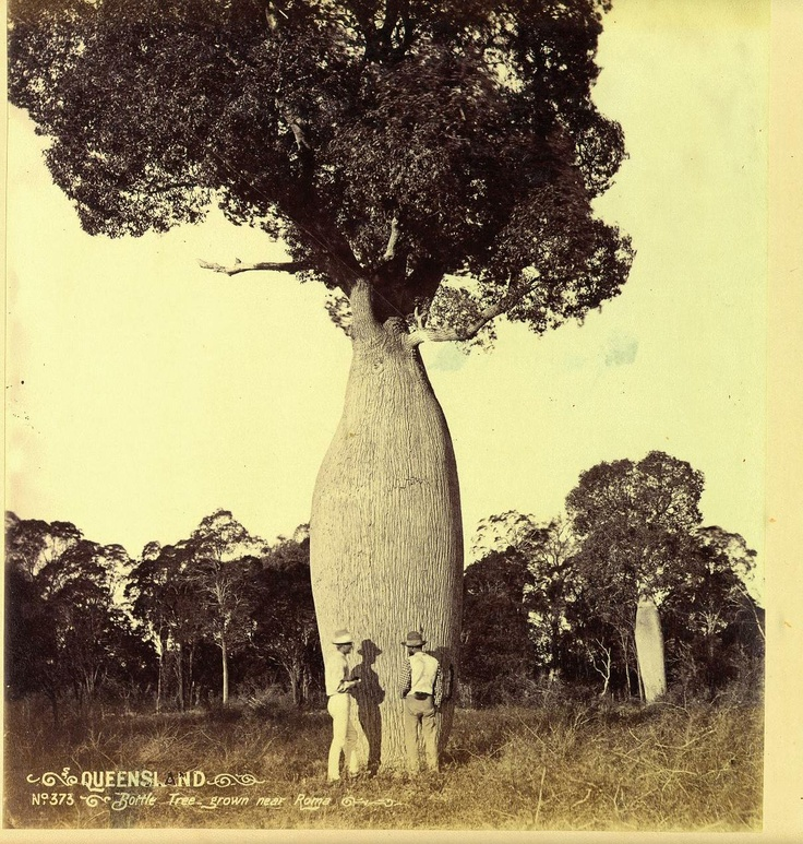 An antique photo of one of Roma's famous Bottle Trees. (Photo from the Hume Family Photograph Collection, UQFL10 Fryer Library, University of Queensland) http://bindaroobottletrees.com.au/