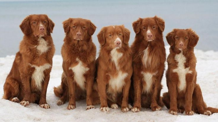 Nova Scotia Duck Toller Retrievers. Rangers other half