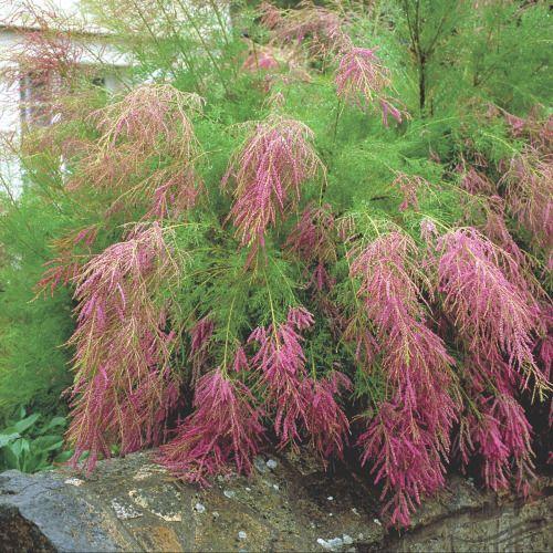 Pink Saltcedar Tamarix ramosissima 'Rubra'
