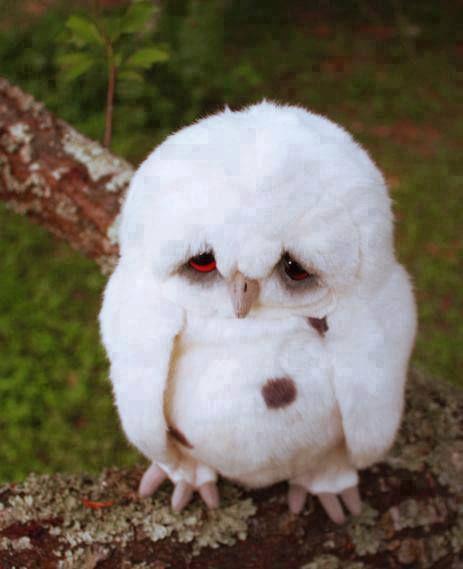 Filhote de coruja branca #sad #owl