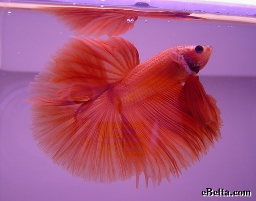Pin by jan harris on beautiful aquarium fish pinterest for One fish two fish red fish blue fish