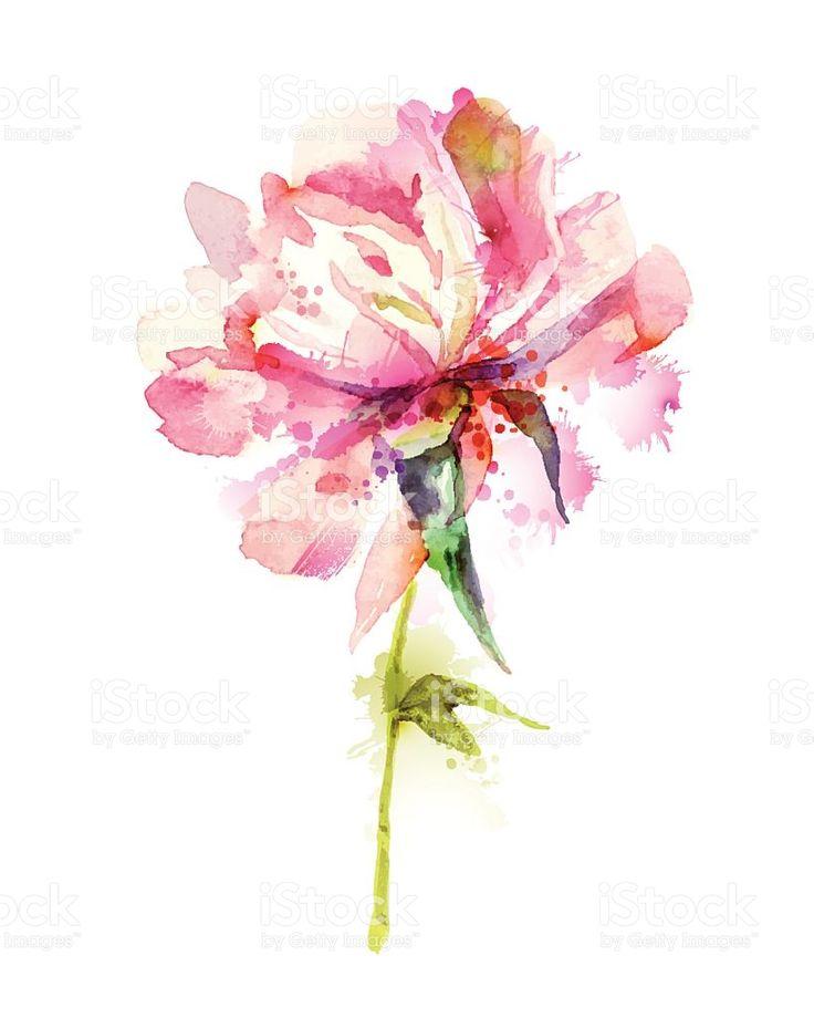 Peônia cor-de-rosa vetor e ilustração royalty-free royalty-free