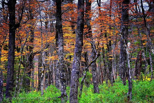 Bosque otoñal - P.N Puyehue (Patagonia - Chile)
