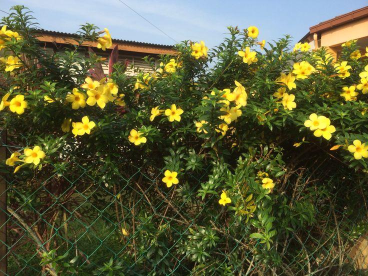 Yellow Allamanda as a plant fencing