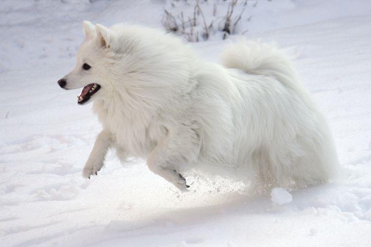 eskimo dog | American Eskimo Dog In Snow HD Resolution Wallpaper