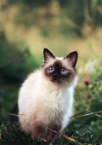 Tumblr Siamese Cat