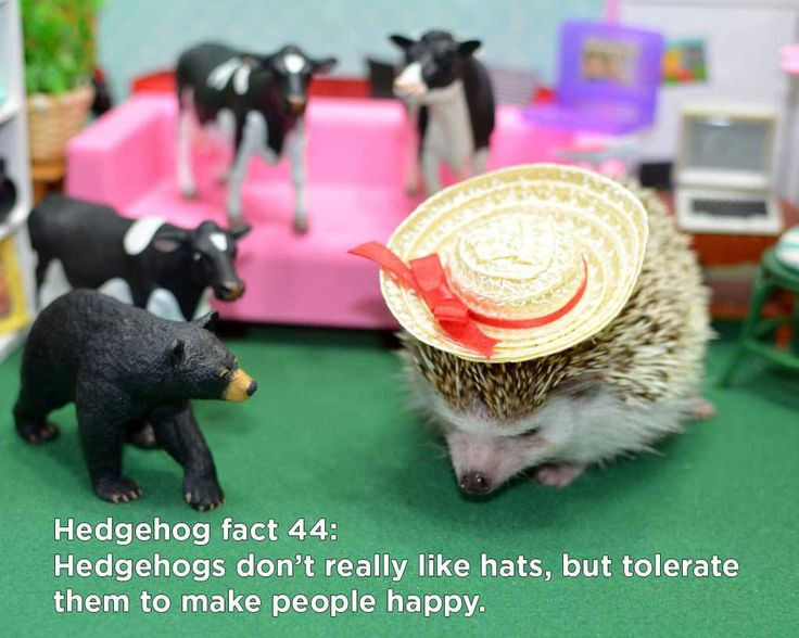 These hedgehog facts are all to true, amazing, and mind-blowing that we don't even need any introductory text here, thoughwe feel compelled to put something here anyway.  1.A hedgehog…