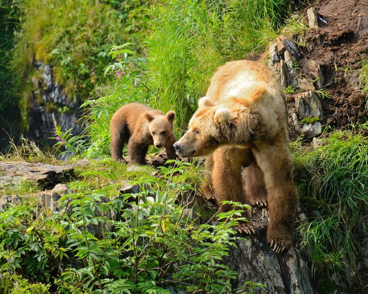 Kamchatka is inhabited by the largest brown bear population in the world.