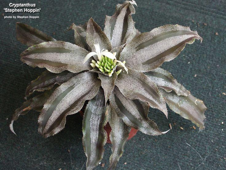 cryptanthus stephen hoppin 8