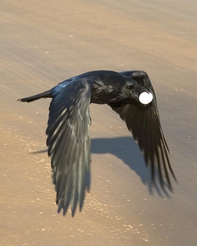 flying raven | ... >> Common Ravens (Corvus Corax) > Raven flying close to road surface