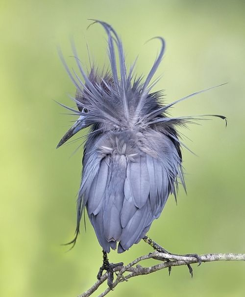 Little Blue Heron...beautiful!: Little Blue Heron, Baby Blue, Aves, Animal Baby,  Egretta Caerulea, Baby Animal, Beautiful Birds, Photo, Feathers Friends