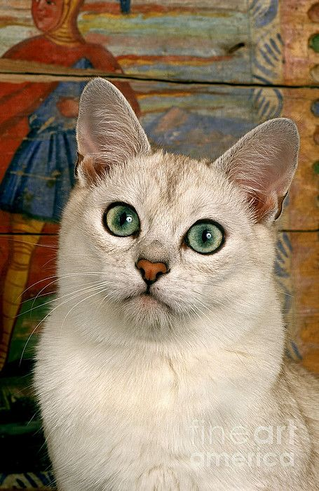 Burmilla Cat Canvas Print / Canvas Art by Gerard Lacz
