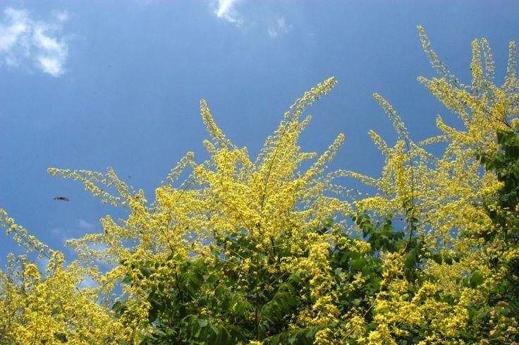 Blasenbaum ❀ TERRA-Pflanzenhandel