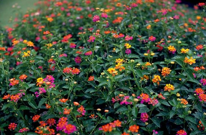 The 16 Secrets About Lantana Plant Zone 16 Only A Handful Of People Know Plantas Ornamentales Plantas Con Flores Perenne