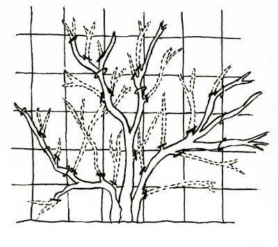 3 types branches sur rosier grimpant:  1. Ramo principo: laisser pousser juska…