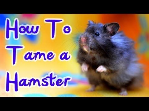 HOW TO: TAME A HAMSTER *HD* - YouTube