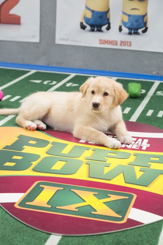 Puppy Bowl IX on Animal Planet. What is the Super Bowl?