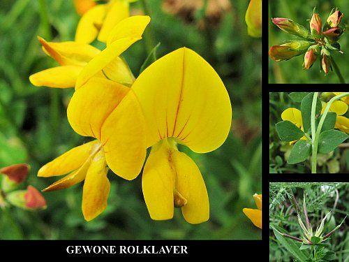 Gewone Rolklaver - Lotus corniculatus. - Foto gemaakt door pinterester Adri v.d.S - Bord Wilde Gele bloemen - Yellow wildflowers