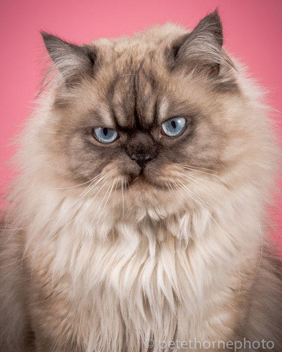 Bizarresia   Fat Cats, homenaje a los gatos gordos
