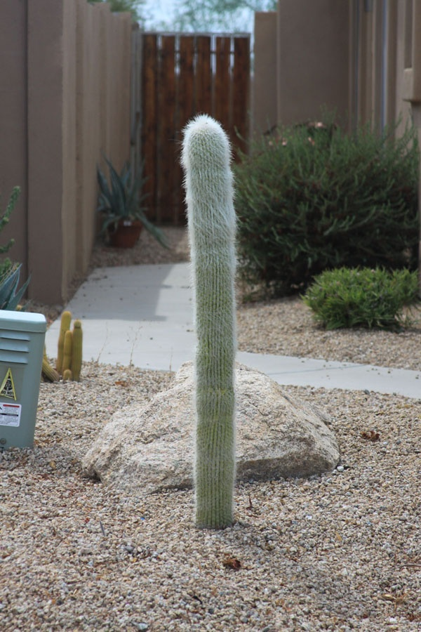 Old Man of Mexico Cactus