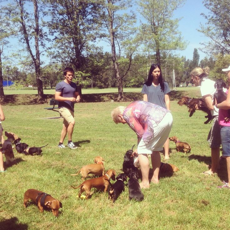 """Bark in The Park - Camp Quality Park Berry NSW Australia """"Dachshund Chaos"""""""