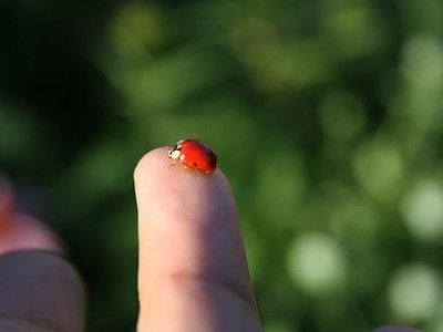 Why You Shouldn't Buy Ladybugs for Natural Pest Control in your Garden, even though it's so tempting!