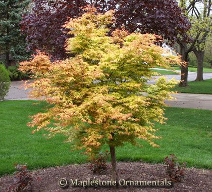 acer palmatum 39 katsura 39 japanese maples palmatum maplestone ornamentals matt 39 s plants. Black Bedroom Furniture Sets. Home Design Ideas