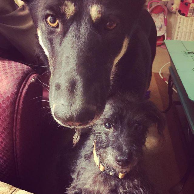 #愛犬 #ほいど #わんこ #ジャーマンシェパード #プードルミックス  バーベキューリブ食ってたらこんな顔してねだられました。
