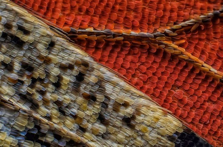 Macro photography -. Scales Of A Butterfly Wing Underside