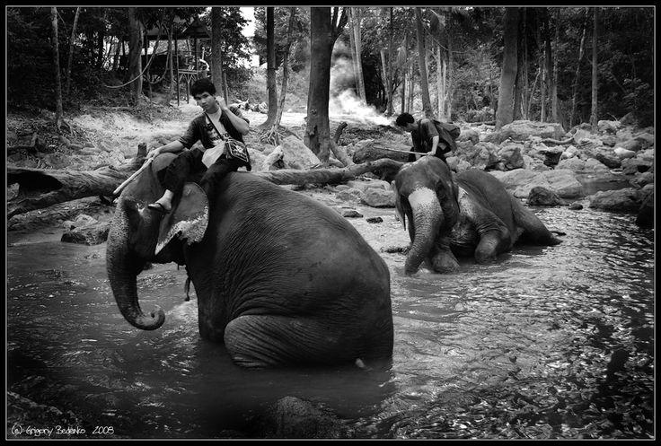 из серии  #Сны о Тайланде#. Тайланд. Остров Самуи. Купание слонов....))) #тайланд #остров самуи #слоны #купание Автор: Григорий Беденко