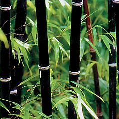 Planted black Bamboo...It was beautiful until it took over my backyard....Now we are fighting the battle of bamboo...definitely need a lot of space for bamboo