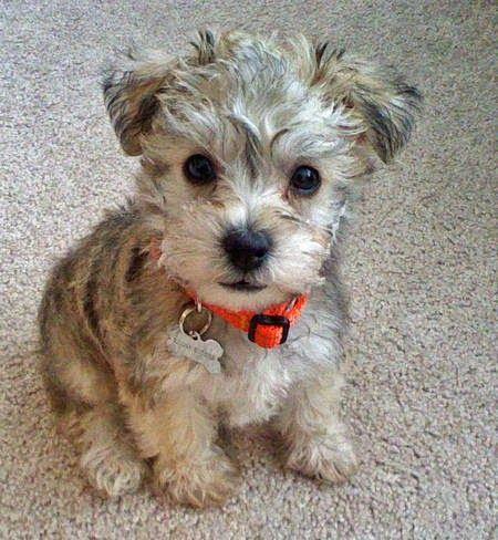 omg this Schnauzer puppy is so flipping cute!!!