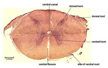 Spinal cord cross section histology | Nervous system ...
