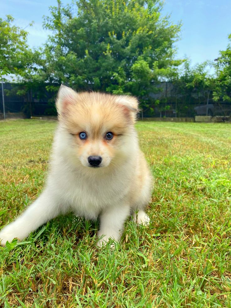 Available puppies puppies for sale in orlando fl in