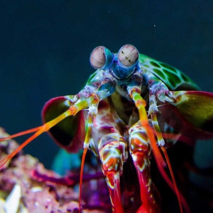 Oceana On Instagram This Tiny Peacock Mantis Shrimp Packs A Huge Punch Believe It Or Not Its Punch Is On In 2020 Mantis Shrimp Beneath The Sea Under The Sea