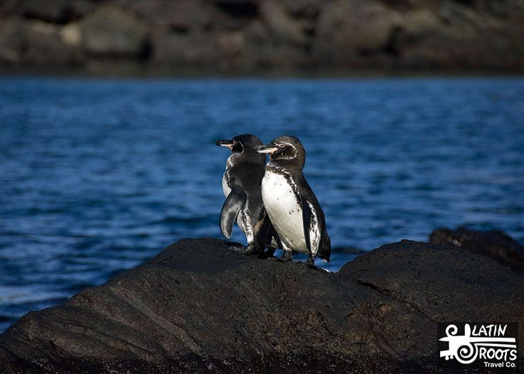 How many Galapagos penguins are there?  There are only about 1000 breeding pairs, which makes them the rarest penguin species. Galapagos penguins do not migrate and are only found in the Galapagos Islands.   Galapagos Penguins Adaptations: Warm Water Penguins? | Latin Roots Travel (Ecuador)
