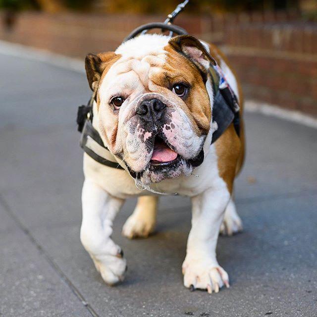 Mozart English Bulldog 3 Y O Greenwich Horatio St New York Ny He Only Likes One Dog Food Bulldog English Bulldog Dog Names