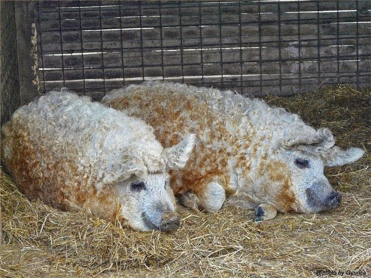 Mangalitsa, The Pig That Resembles a Sheep https://twitter.com/ogugeo/status/497735853334990852