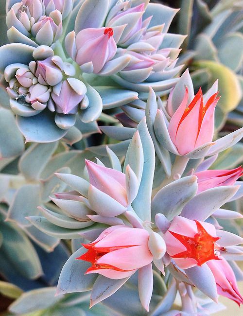 "Succulents ~ by Rich Greene ~ Miks' Pics ""Flowers lll"" board @ http://www.pinterest.com/msmgish/flowers-lll/"