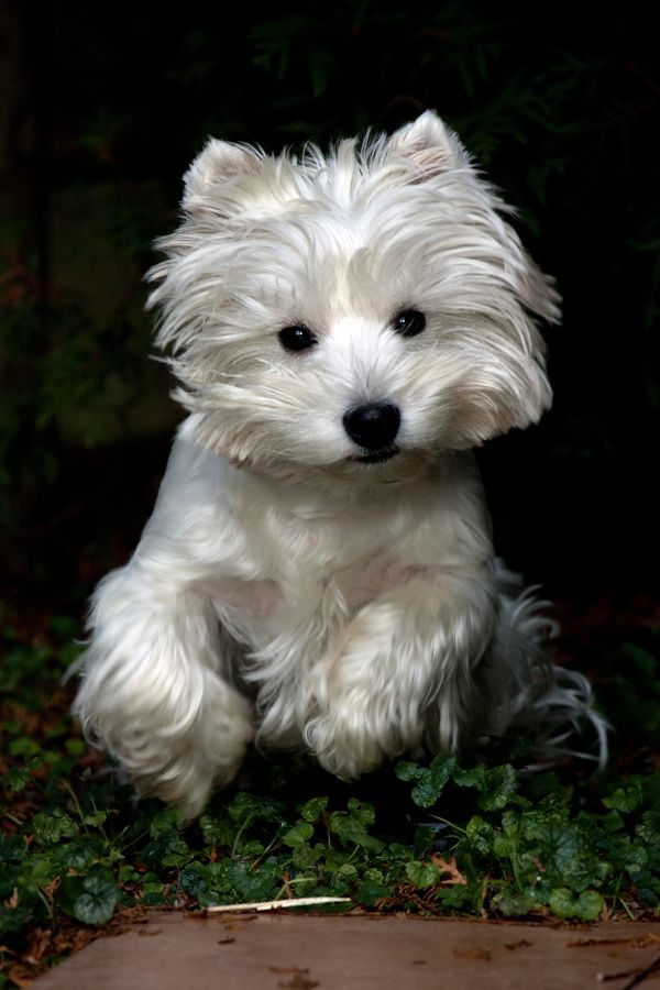 West Highland Terrier, 'Westie'.