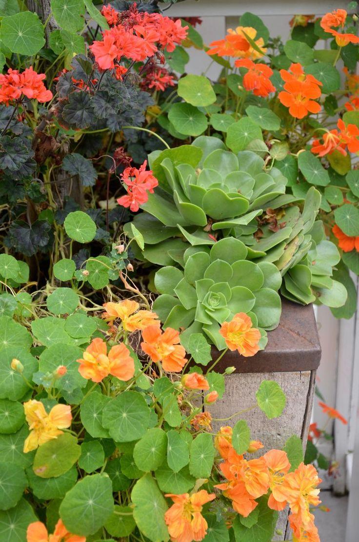 Buy culinary herbs plants nasturtium plants - 141 Best Nasturtiums Images On Pinterest Edible Flowers Flowers And Flowers Garden