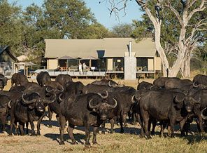 Surrounded by herds of Buffalo - Every day is different with Wilderness Safaris.