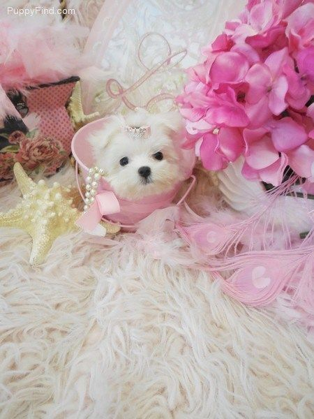 Little Bity | Female Maltese For Sale in Fort Lauderdale FL | 3457404342 | 3457404342 | Dogs on Oodle Marketplace