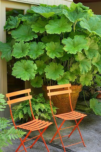 "Darmera peltata... (Indian rhubarb or umbrella plant) Leaves can grow up to 24"" wide. Can grow in moist or even boggy soil.  Hardy to zone 5."