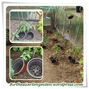 Immer wieder werde ich darauf angesprochen, wofür die Plastiktöpfe neben den Tomatenpflanzen eigentlich gut sind… Es ist ganz einfach: Zur einfachen und richtigen Bewässerung :-). Und da es …
