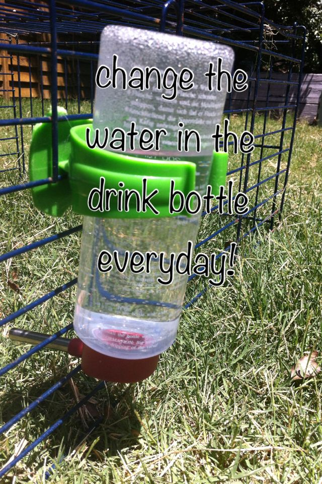 Make sure you change the water in your guinea pig's drink bottle everyday! Even if it's not empty. Your guinea pigs don't want to drink warm water!